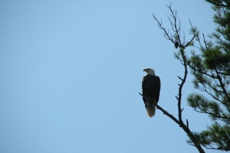 A Bald Eagle sitting on a branch near Porter Point Camps